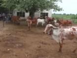 Govju urīnā atklāj zeltu