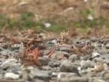 Kā šausmu filmā: Krievijas kūrortu pārņem tūkstošiem siseņu