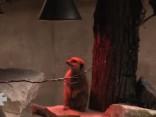 Rīgas Zoo surikatu ģimenei lieli svētki - tapusi jauna mītne