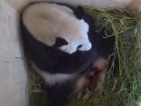 Vīnes zooloģiskajā dārzā pandu pārim piedzimis mazulis