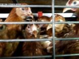 Atklāj cietsirdīgu izturēšanos pret vistām Balticovo fermās