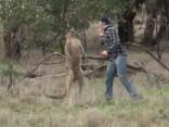 Populārs video no soctīkliem: vīrietis iekausta ķenguru, lai izglābtu savu suni