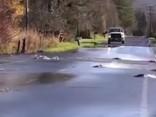 Sietlā satiksmes haosu izraisa... pāri ielai lecošas zivis