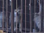 Šos suņus bija plānots apēst; Aktīvisti Dienvidkorejā izglābj nāvei nolemtus suņus