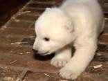 Kilograms mīļuma: šādi izskatās polārlāču mazulis