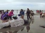 Jaunzēlandē pēc izmešanās krastā nobeigušies simtiem vaļu