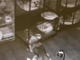 Apķērīgs haskijs - kramplauzis no veterinārās klīnikas sprostiem atbrīvo savus biedrus