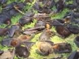 Austrālijā karstuma dēļ bojāgājuši simtiem dižsikspārņu