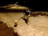 Зоопапарацци: Когда пес выгуливает пса