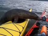 Noskaties: Pārguris ronis atvelk elpu uz vīrieša kajaka