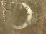 Noskaties: Indijā izglābj divus metrus garu krokodilu, kurš iekritis akā