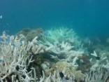 Большой Барьерный риф белеет из-за потепления