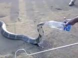 Noskaties: Indijā izslāpusi kobra dzer ūdeni no pudeles
