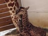 Noskaties: Ņujorkas zooloģiskajā dārzā pasaulē nācis žirafēns