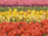 Krāšņa ziedu sega priecē Amerikas tulpju festivāla apmeklētājus