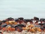 Kubas Cūku līci ieņēmušas migrējošu krabju armijas
