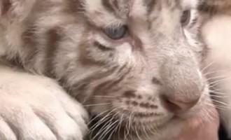 Austrijas zooloģiskais dārzs lepojas ar mēnesi veciem baltajiem tīģerīšiem