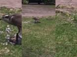 В центре Пурвциемса охотятся дикие птицы