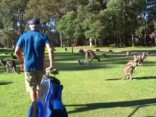 Посмотри: Кенгуру отдыхают на поле для гольфа