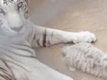 В зоопарке Мексики родились белые тигрята