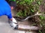 Noskaties: Peru glābēji palīdz caurulē iesprūdušai četrus metrus garai anakondai