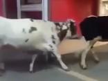 Neliecies traucēts - tās ir tikai govis, kuras pastaigājas pa lielveikalu
