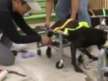 Vīrietis ar zelta rokām un plašu sirdi palīdz suņiem-invalīdiem