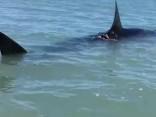 Noskaties: kā ir laivot kopā ar balto haizivi