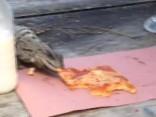 Nekaunīga iguāna tūristam nozog picas gabalu un aizbēg
