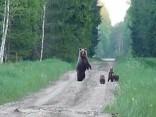 Igaunijā, Jervakandi apgabalā, tramīga lāču mamma izvedusi pastaigā četrus lācēnus