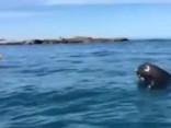Arī tāda ir daba: Ronis plosa astoņkāji