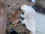 Varonīgs suns izglābj stirnu no noslīkšanas