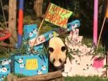 Первый день рождения панд-близнецов в Венском зоопарке
