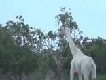 Kenijā nofilmētas retas baltās žirafes