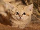 Pirmoreiz savvaļā nofilmēti smilšu kaķa mazuļi