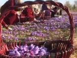 Afganistānā opija magoņu laukus nomaina safrāna audzēšana