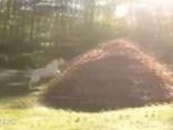 Labradors nespēj noslēpt prieku par krāsainajām rudens lapām