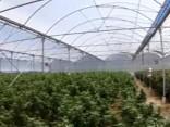 Austrālijas policijas reids marihuānas audzētavā: atrasti 11 000 augu