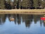 ASV no aizsaluša ezera izglābj stirnu
