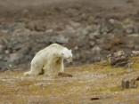 Zinātnieki Kanādā nofilmē izvārgušu polārlāci
