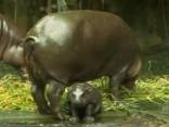 Noskaties! Singapūras zoodārzs izrāda savus jaundzimušos iemītniekus