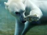 Sandjego zoodārzā polārlāči mielojas ar dzīviem asariem