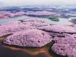 Arī Ķīnā sākas ķiršu ziedēšanas sezona