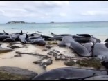 В Австралии на берег выбросились дельфины