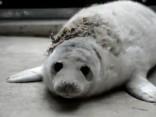 В Ригу с вентспилского пляжа доставлен раненый тюлененок