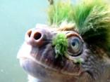 Bruņurupucis panks