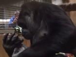 Gorillas mazuļa dzemdības