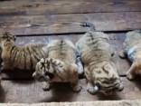 Dabas parkā Ķīnā pasaulē nākuši pieci Mandžūrijas tīģerēni