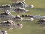 Ķīnas aligatori