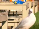 Restorāns Austrālijā izdalījis apmeklētājiem ūdenspistoles, lai atvairītu kaijas